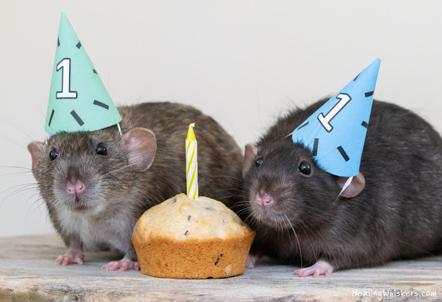 Wyatt the rat and Franklin the therapy rat's birthday