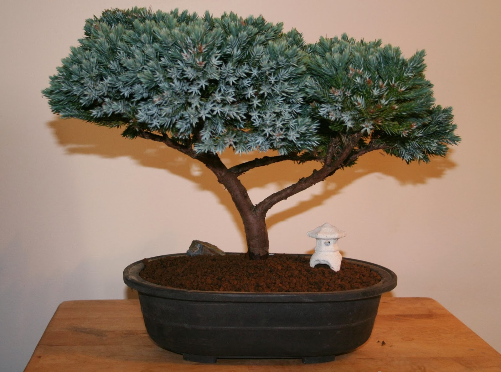 Blue Star Juniper Tree Bonsai Bonsai Tree