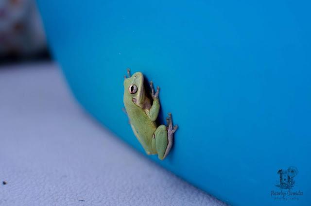 Little Green Frog (©Jenny Bell @ Flutterbye Chronicles)