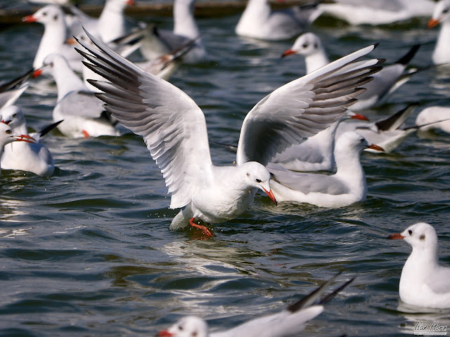 Tern Feeding Frenzy
