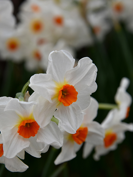 Daffodil Days at Oakland Cemetery | Photo: Travis Swann Taylor