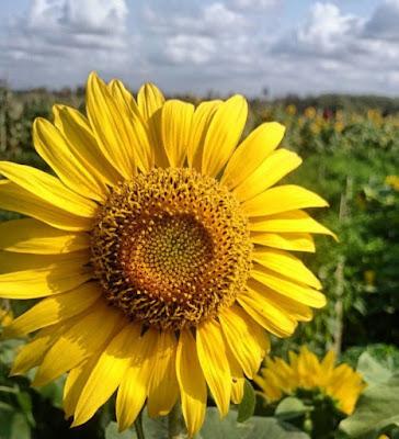 Pesona Hamparan Bunga Matahari di Bantul www.guntara.com