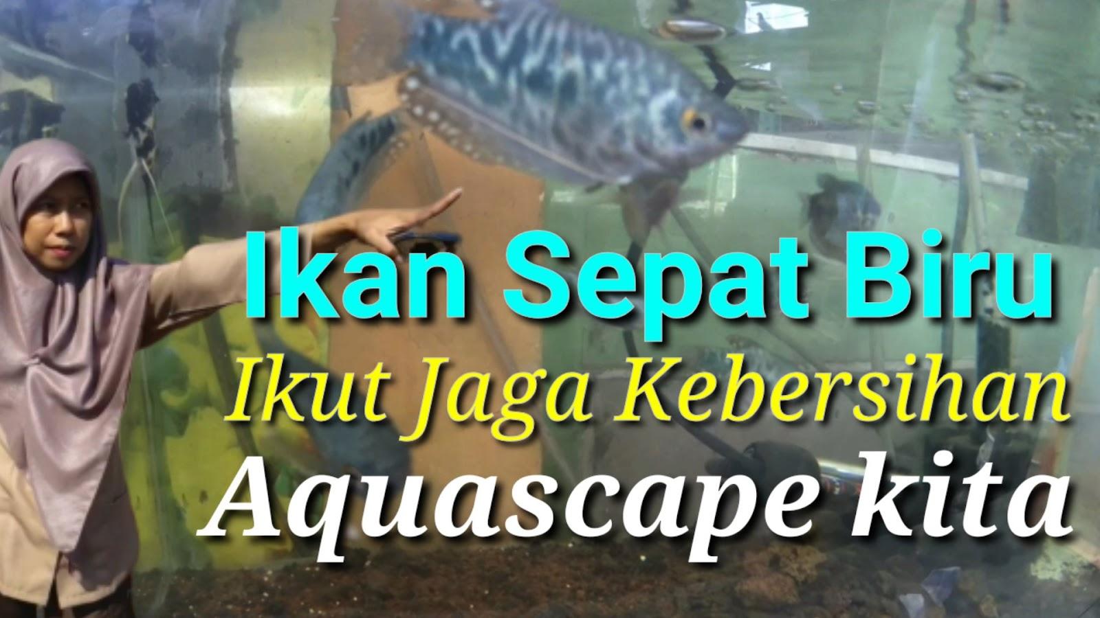 Ikan Sepat Biru, Ikut Jaga Kebersihan Aquascape Kita