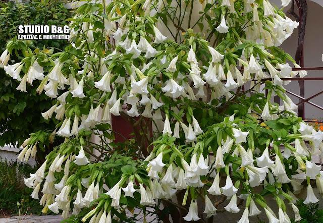 «Σάλπιγγες των Αγγέλων»: Το φυτό με τα πανέμορφα άνθη αλλά και το πιο δηλητηριώδες στον κόσμο