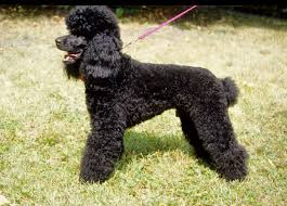 Poodle lower classification-Medium poodle