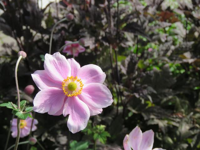 Høstormedrue og Anemone - nærbilde av Anemone