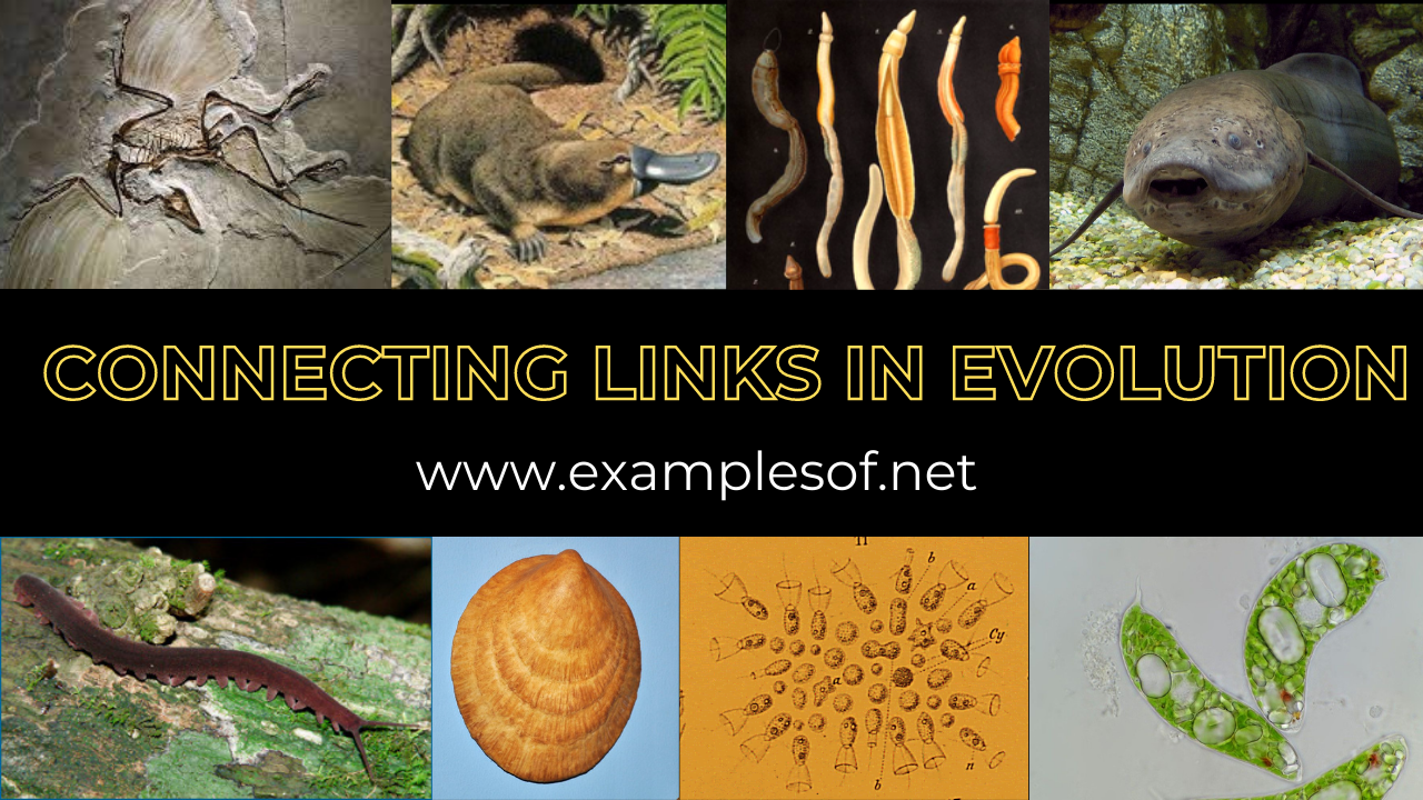 Connecting links in evolution