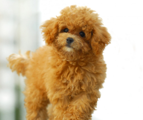 Toy Poodle puppy price in Mumbai, Toy Poodle puppy sale Mumbai, Toy Poodle puppy Purchase Mumbai, Toy Poodle dog purchase Mumbai, Toy Poodle dog sale Mumbai