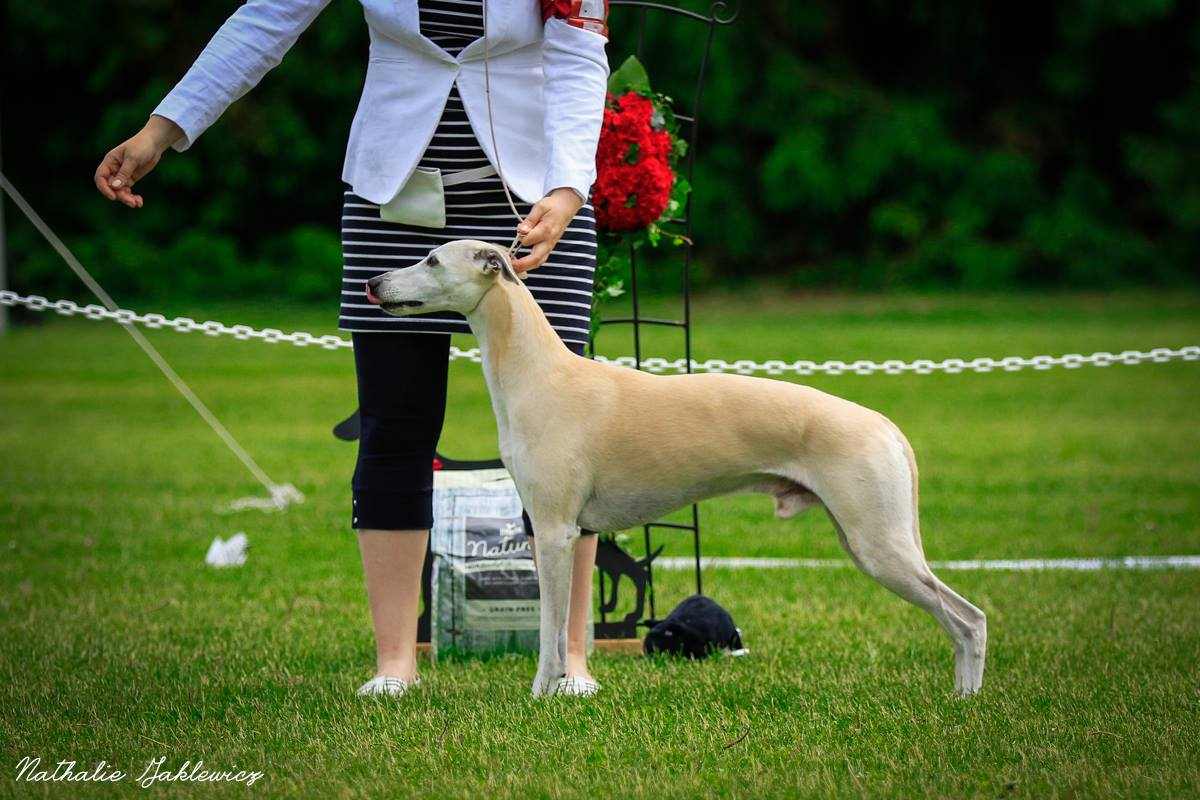 Leevi Photo Nathalie Jaclewicz Brookway whippets The