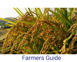 Rice Planting in Nigeria (Practical guide)