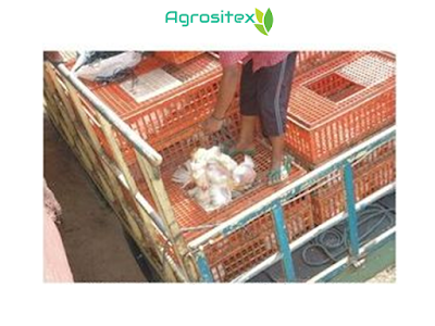 Packing Ayam Broiler