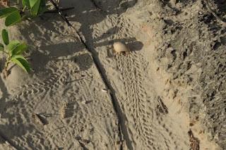 Terrestrial hermit crab tracks