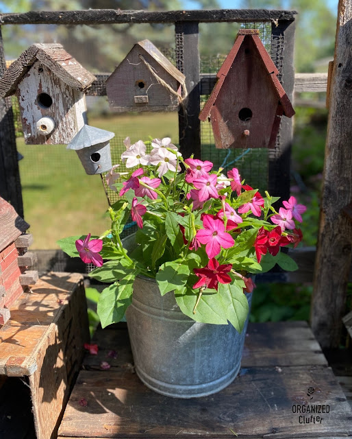 Photo of nicotiana planted in a bucket with birdhouse vignette