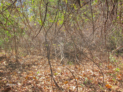 leaf litter, tropical dry forest