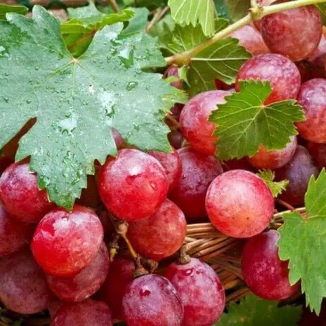Pasti Puas! Bibit buah anggur merah red prince MURAH Kota Malang #bibit buah genjah termurah