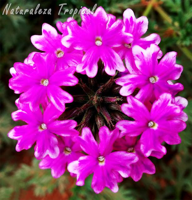Floración de una especie del género Verbena