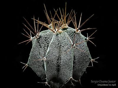 Cacto Astrophytum ornatum