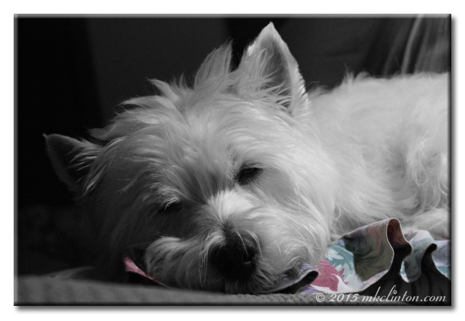 Pierre White West Highland Terrier sleeping