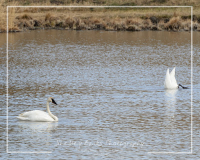 Trumpeter - or Tundra - Swans. © Copyright Shelley Banks, All Rights Reserved.