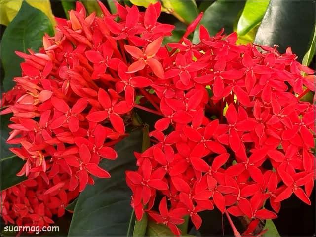صور ورد - ورد احمر 11 | Flowers Photos - Red Roses 11
