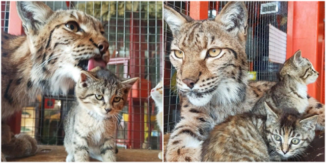 Рысь взяла под опеку котенка в иркутском зоопарке