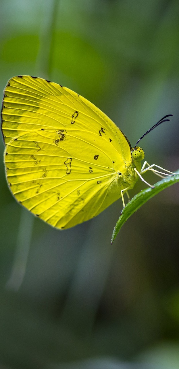Common grass yellow butterfly.