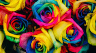 Rainbow roses wallpaper   colorful flowers