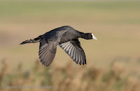 Birds In Flight Photography: Canon EOS 7D Mark II Gallery