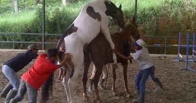 Gambar gambar menarik dan lucu Gambar Kuda Kawin