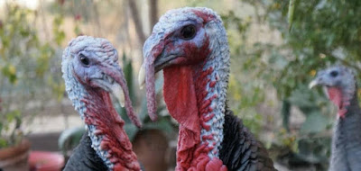 Figure: What are baby turkeys called?