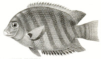 Kerala state fish: green chomide / pearl spot / karimeen കരിമീൻ