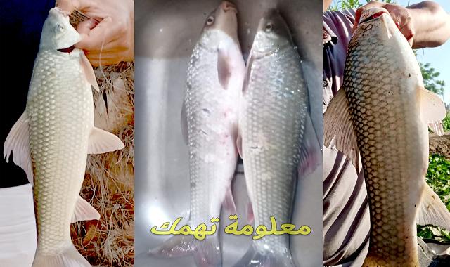 صيد سمك اللبيس بالانشون