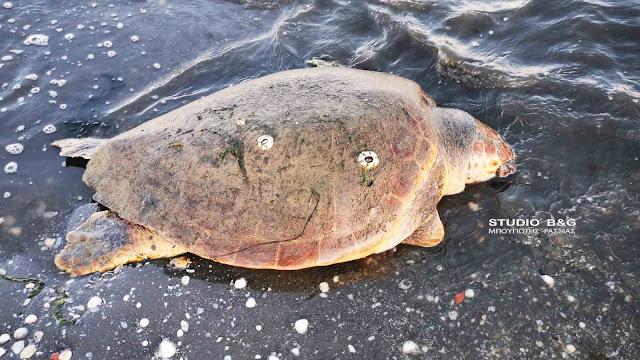 Θλίψη δίχως τέλος - Κι άλλη νεκρή θαλάσσια χελώνα σε παραλία της Αργολίδας