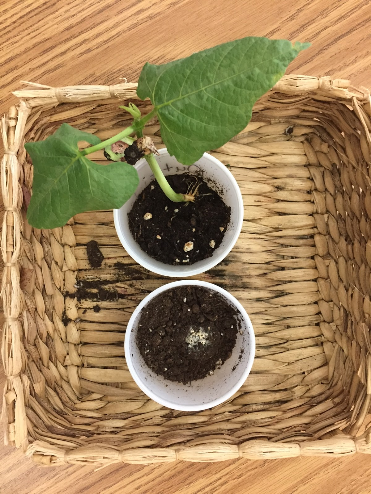 Kindergarten Plant Unit An Inquiry Based Approach