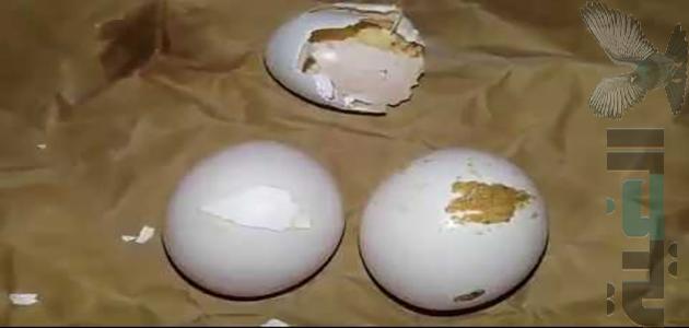 جميع مشاكل البيض عند الحمام اسبابه وكيفية العلاج