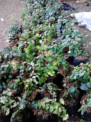 Jual Pohon Dolar | Tanaman Rambat | Supplier Tanaman Rambat Dolar