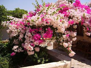 Primavera (Bouganvillea)