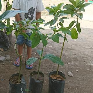 Penyiapan Lahan, Unsur Hara, Lubang Tanam Untuk Budidaya Pohon atau Bibit Alpukat  Pohon atau bibit alpukat dapat tumbuh baik pada daerah tropis dan subtropis dengan ketinggian di bawah 2000 mdpl. Selain itu, pohon alpukat juga membutuhkan suhu udara antara 20-24 celcius, curah hujan 1000 mm per tahun, serta tanah yang subur dengan pH 5-7. Meskipun lahan tersebut sudah dipenuhi, pengolahan lahan juga harus di optimalkan agar buah yang dihasilkan menjadi optimal.