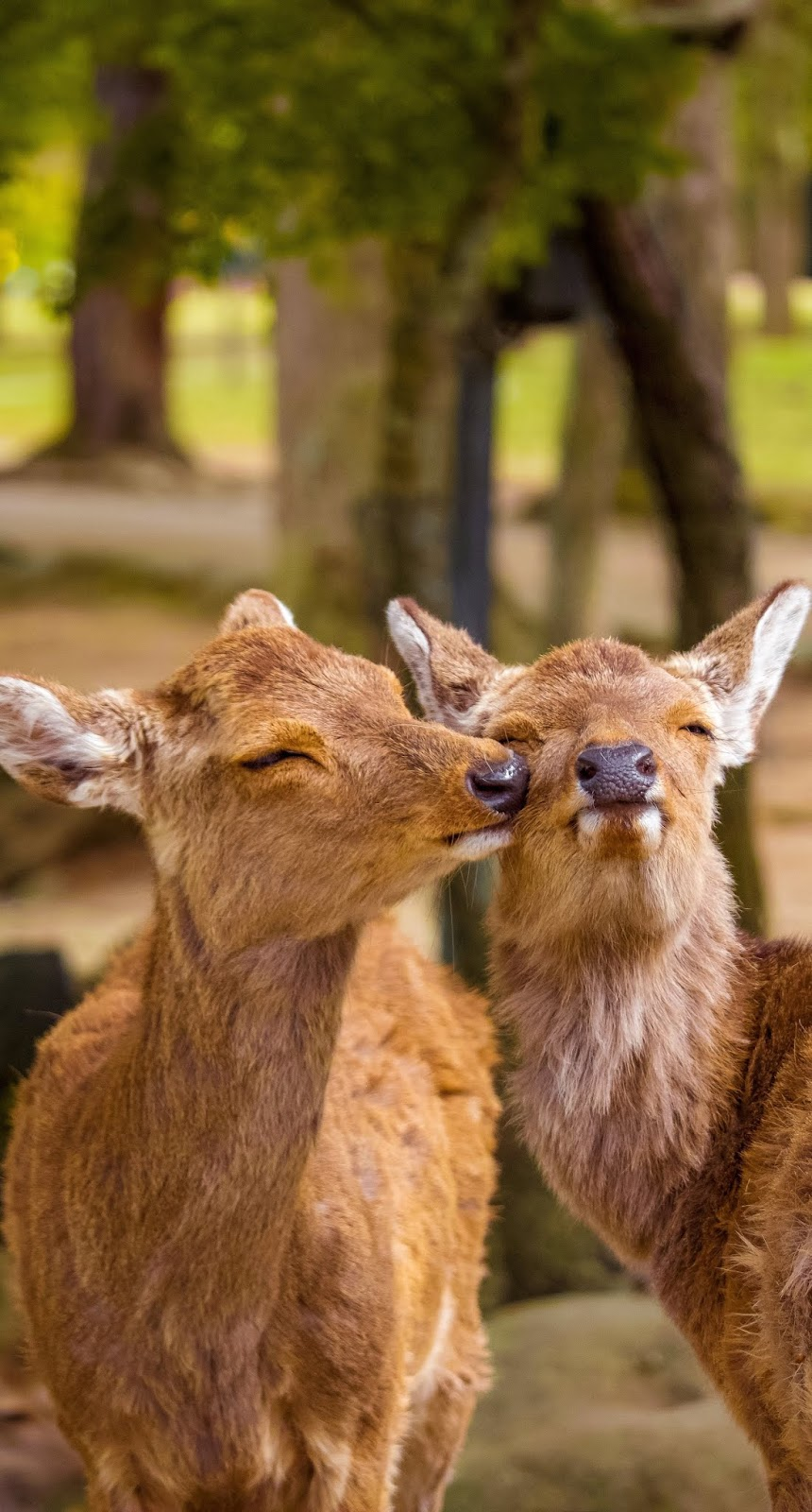 Cute pair of deer displaying their affection.