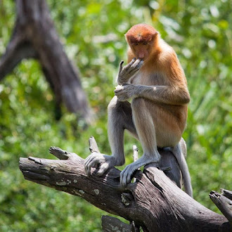 Trip To Labuk Bay Proboscis Monkey Sanctuary (5 Photos)