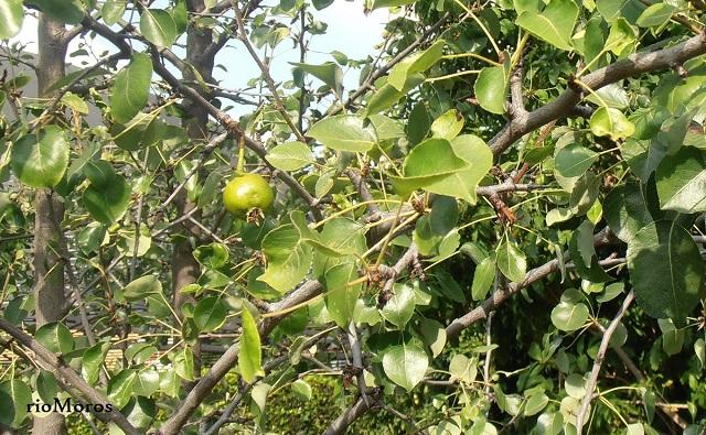 Fruto de Piruétano Pyrus bourgaeana