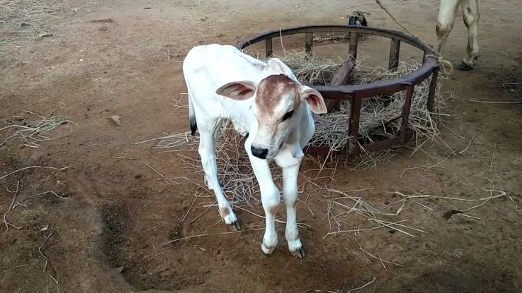 New Born Indian Cow Calf