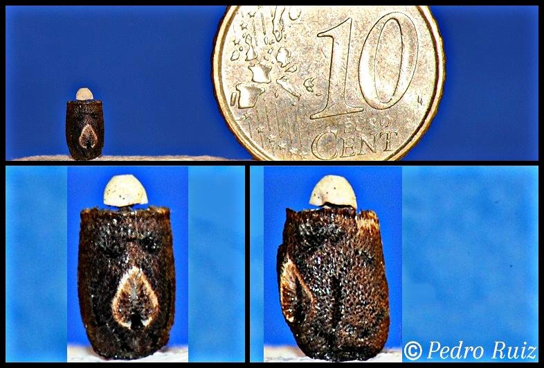 Huevo de Eurycnema goliath