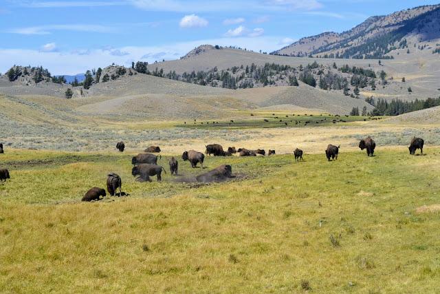 Бізони у Єллоустонському національному парку (Bisons. Yellowstone National Park, Wyoming)
