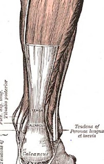 Anatomi Tendon Achilles, Fungsi, Dan Cedera