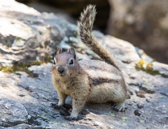 Golden mantled ground squirrel at Snyder Lake in Glacier National Park