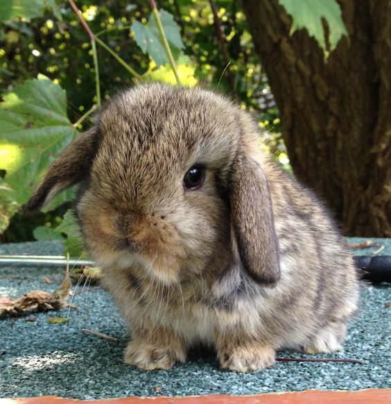 Holland Lop Rabbit Information Pictures History And Health