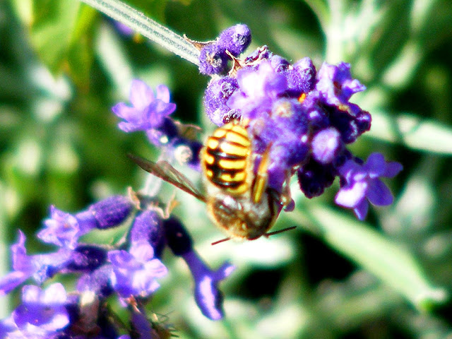 European Wool Carder Bee Anthidium manicatum. Charente-Maritime. France. Photo by Loire Valley Time Travel.