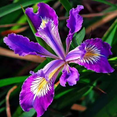 زهرة السوسن - زهور سوسن