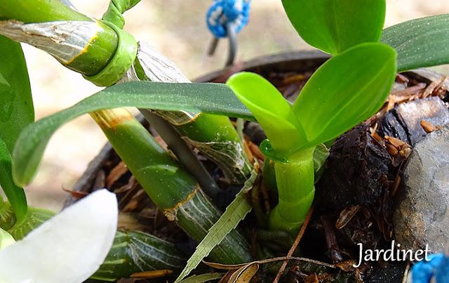 Bulbos Dendrobium